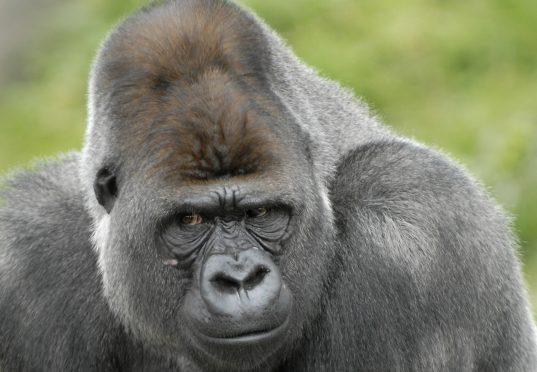De Gorilla's Verhuizen
